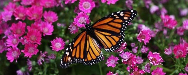 مجموعه تصاویر پروانه برای دسکتاپ کامپیوتر(16 تصویر)